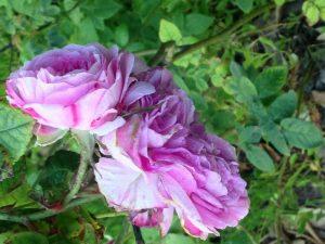 Balbinia Rose